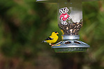Male American goldfinch doing his best Bucky Badger imitation.