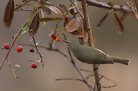Orange-crowned Warbler in mid-December.