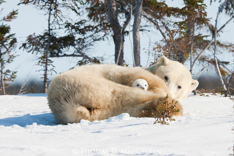 A  polar bear cub rests with its mother in the soft snow of Manitoba, Canada.