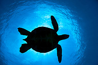 The silhouette of a large green sea turtle, Chelonia mydas, an endangered species, passes overhead at a cleaning station of West Maui, Hawaii.