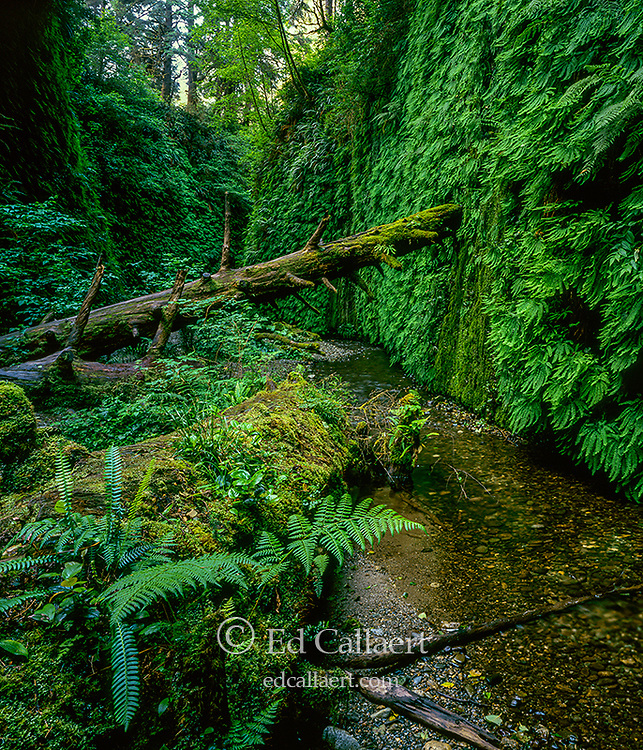 Fern Canyon, Prairie Creek Redwoods State Park, Redwood National and State Parks, California