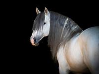 Lusitano stallion Delta at Monte Barrao studfarm