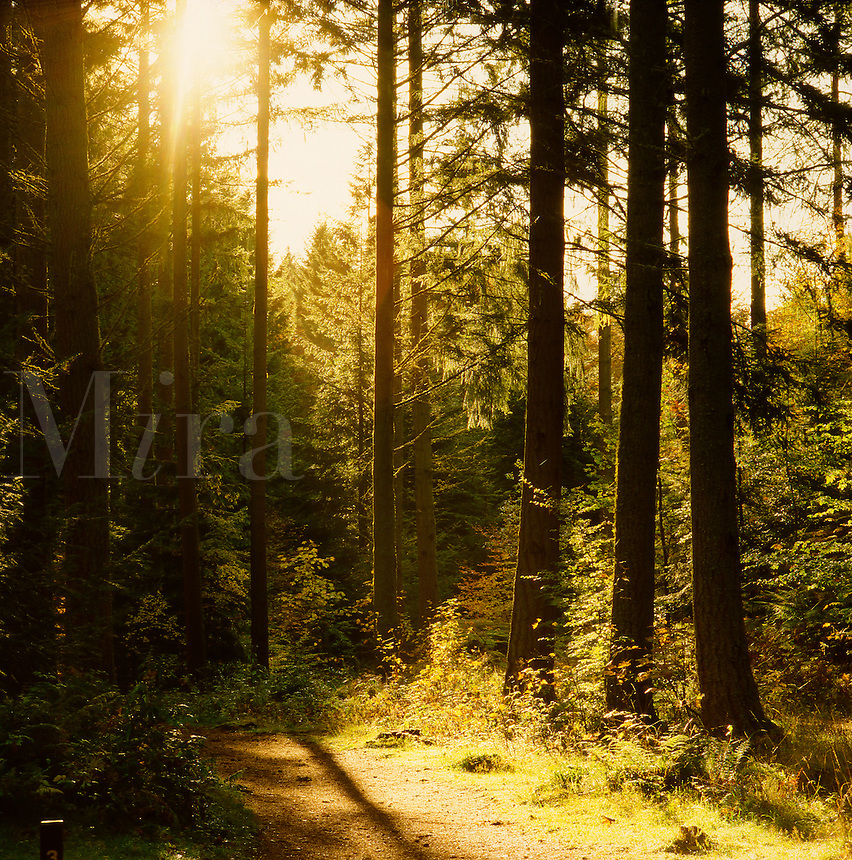 Footpath through a sunny coniferous/mixed forest on nature reserve. Scotland.
