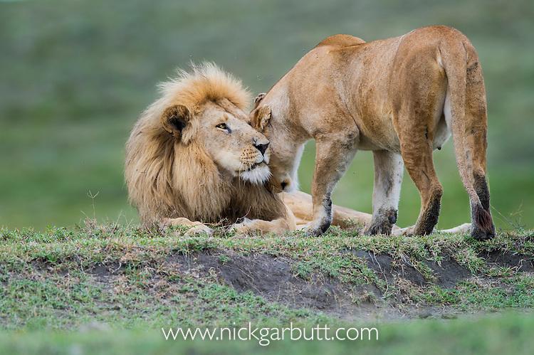 Male and female African Lions (Panthera leo) - mating pair, near Ndutu, Nogorongoro Conservation Area / Serengeti National Park, Tanzania. March 2015