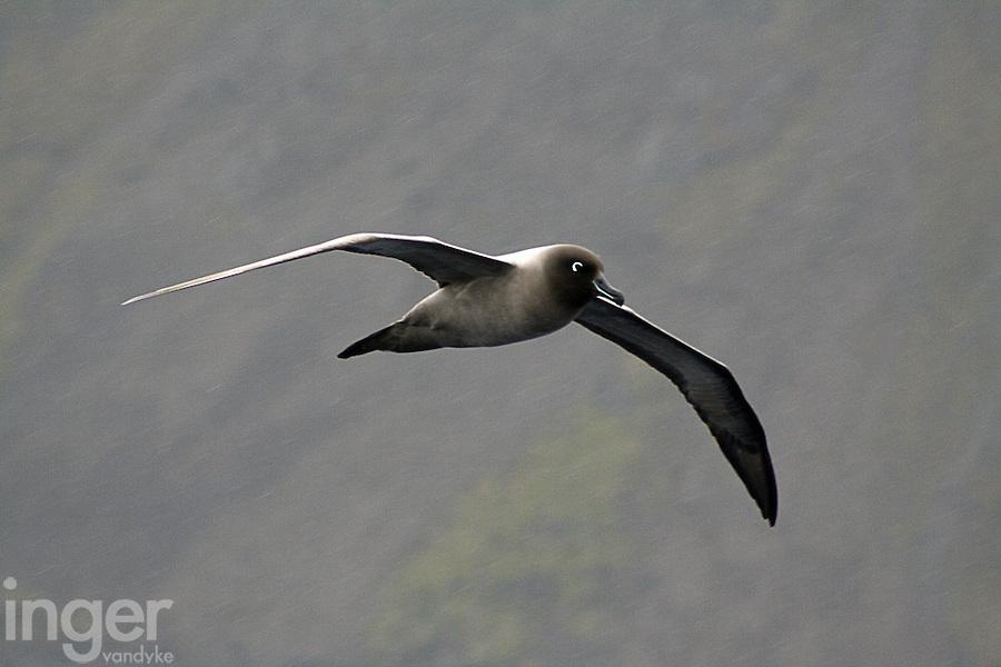 Light-mantled Sooty Albatross flying through a sleet storm on Macquarie Island, Antarctica