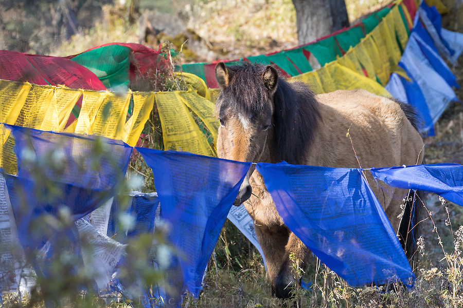 horse in the prayer flags of Dochula Pass, Bhutan