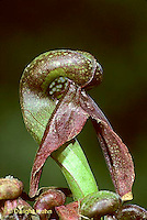 CA14-001a  Cobra Lily - insect eating plant - Darlingtonia californica