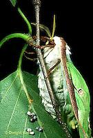 LE08-023a   Luna Moth - adult female laying eggs - Actias luna