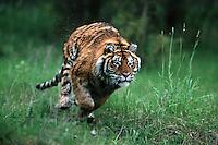 A running Siberian tiger (Panthera tigris).