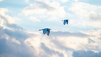 A pair of egrets in flight over the marshes , Merritt Island, FL, March 2020.(Photo by Brian Cleary/bcpix.com)