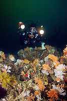 Diver in garden of Gorgonian Coral (Calcigorgia spicculiffera) in Queen Charlotte Strait off northern Vancouver Island, British Columbia, Canada.