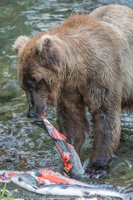 Brown bear peels the skin off of red salmon in the Brooks River, Katmai National Park, Alaska.