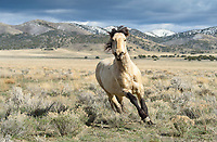 Comin' In Hot. A buckskin stallion blasts toward me in pursuit of another stallion who ventured a little too close to his band. The power, grace and speed of these magnificent mustangs is truly something to behold. I love the intensity of his eyes as he prepares for confrontation. Time to step aside... Great Basin Desert, Utah