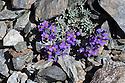 Alpine Toadflax (Linaria alpina) growing in scree slope on mountainside. Nordtirol, Austrian Alps, Austria, July.