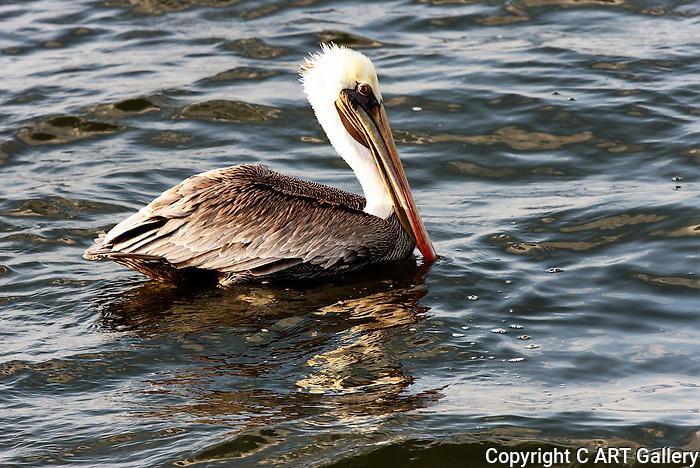 Pelican Floating 1, Bolsa Chica, CA.