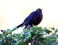 Sooty robin