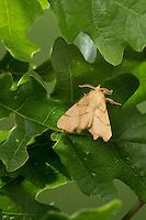 Birken-Zackenrandspanner, Birken-Zackenspanner, Männchen, Ennomos erosaria, September thorn, male. Spanner, Geometridae, looper, loopers, geometer moths, geometer moth
