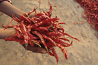 INDIA red chilies drying in the sun / INDIEN rote Chilies trocknen in der Sonne
