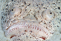 The stargazer, Uranoscopus chinensis, is an ambush predator that remains buried during the day, with only it's eyes and mouth visible.  This species can be found at night, but is nearly impossible to located when the sun is out.  Mabul Island, Malaysia.