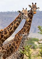 Giraffe Family - Serengeti - Tanzania