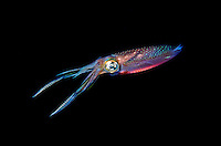 Squid, Sepioteuthis lessoniana, have two elongated tentacles, visible here, that extend farther than the others and have specialized pads of suckers at the ends for capturing prey mollusk propel jet cephalopoda cephalopod underwater marine color colorful