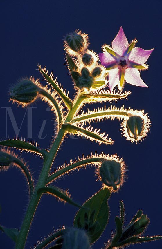 A wildflower in backlit sunlight.