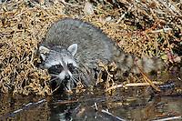 Raccoon, Bosque del Apache NWR, New Mexico