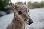 Mareeba rock-wallaby (Petrogale mareeba) with its face full of ticks