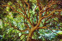 V00084.tif   Widely branched tree. Near San Luis Obispo, California