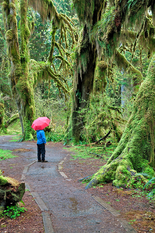 Path in Hall of Mosses with hiker with red unbrella. Hoh Rain Forest. Olympic National Park, Washington