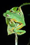 Wallace's Flying Frog (Rhacophorus nigropalmatus) at night. Danum Valley, Sabah, Borneo.
