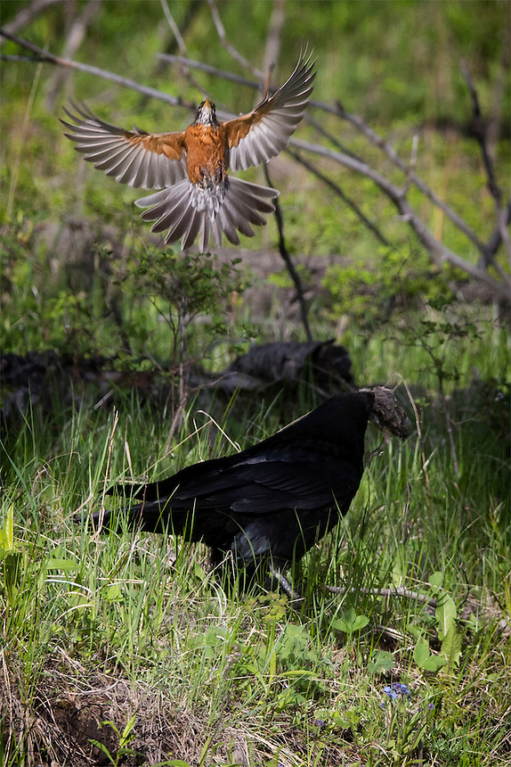 This raven has stolen a baby robin right from it's nest. It's parent makes a vain attempt to retrieve it.