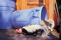 Striped Skunks raiding garbage stored in backyard shed..Ranges through southern.Canada and most of USA. .Summer. (Mephitis mephitis).
