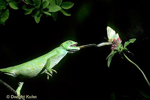 CH04-016z  African Chameleon - catching butterfly prey with long tongue - Chameleo senegalensis