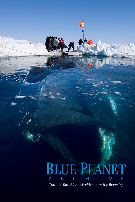 48 foot 8 inch bowhead whale, Balaena mysticetus, caught by the ABC whaling crew during spring whaling season, Chukchi Sea, Arctic Alaska