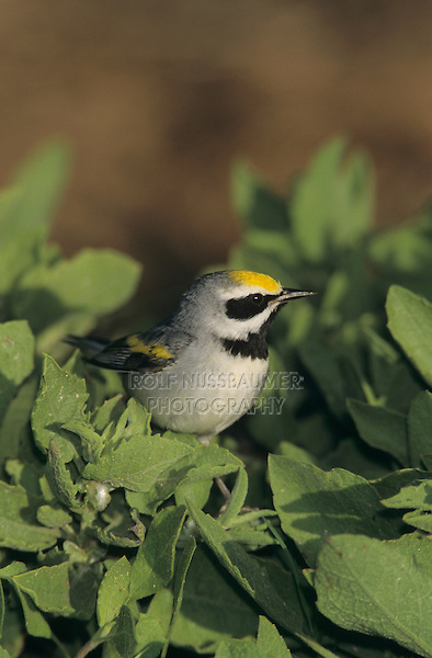 Golden-winged Warbler, Vermivora chrysoptera, male, South Padre Island, Texas, USA, May 2005