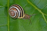 Gartenschnirkelschnecke, Garten-Schnirkelschnecke, Weißmündige Schnirkelschnecke, Schnirkel-Schnecke, Weißmündige Bänderschnecke, Bänder-Schnecke, Cepaea hortensis, white-lip gardensnail, white-lipped snail, garden snail, smaller banded snail