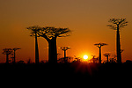 Sun rise over Grandidier's Baobabs (Adansonia grandidieri) and deciduous forest. Near Morondava, west Madagascar