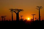 Sun rise over Grandidier's Baobabs (Adansonia grandidieri) and deciduous forest. Near Morondava, west Madagascar