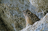 Eurasian Eagle Owl, Bubo bubo , adult at roost in cliff, Kaltbrunn, Switzerland, September 1998