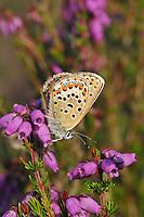 Butterflies - Silver-studded blues