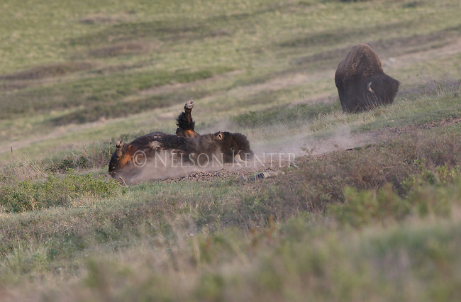 Bison taking a dust bath in Montana