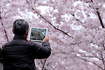 A man takes a photo of cherry blossoms in Tokyo, Japan, April 5, 2016.  (Photo by Yuriko Nakao/AFLO)