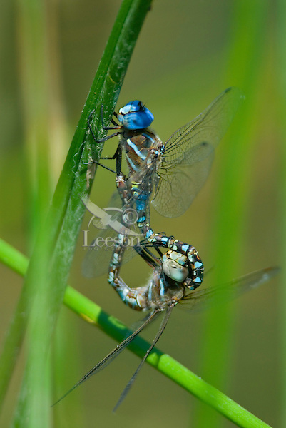 """Blue-eyed Darner (Aeshna multicolor) dragonflies mating--in what is called """"wheel position.""""  Pacific Northwest.  Summer."""