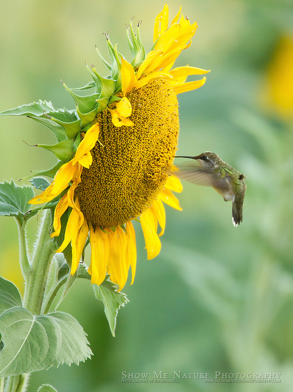 Female Ruby-throated Hummingbird working at collecting nectar from a sunflower