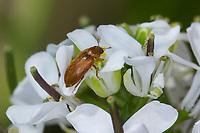 Blütenfresser, Byturus ochraceus, Byturus fumatus, Byturus aestivus, Fruitworm, Blütenfresser, Byturidae, Fruitworms, an Knoblauchsrauke, Alliaria petiolata