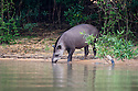 South American or Brazilian Tapir (Tapirus terrestris) drinking. Banks of the Piquiri River, northern Pantanal, Brazil.