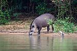 South American or Brazilian Tapir (Tapirus terrestris) drinking. Banks of the Piquiri River, northern Pantanal, Brazil.