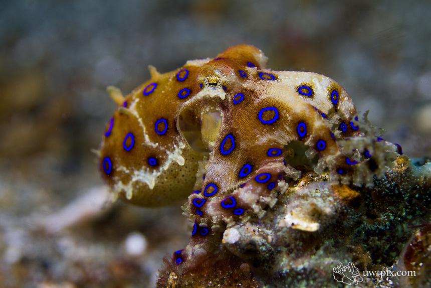Blue-ringed octopus (Hapalochlaena sp.)