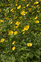 Gold-Hahnenfuß, Gold - Hahnenfuß, Gold - Hahnenfuss, Ranunculus auricomus